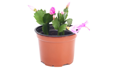 Schlumbergera in big pot isolated on white  Stock Photo