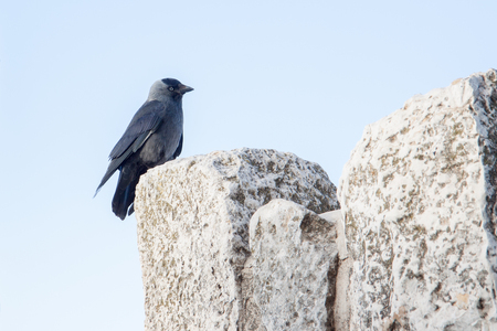 Cute  black jackdaw sitting on a top of wall photo