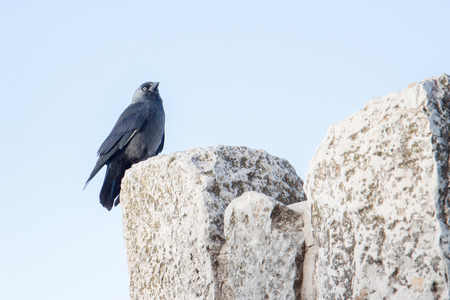 Small  black jackdaw sitting on a wall photo