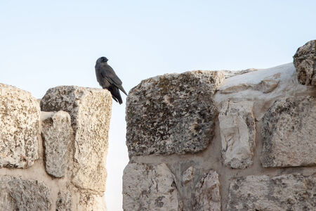 Small  black jackdaw sitting on a top of wall photo
