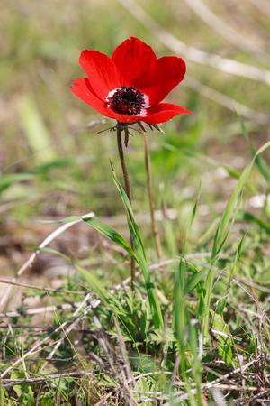 anemone flower: Singolo fiore anemone rosso in un campo