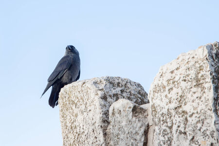 Cute  black jackdaw sitting on a stone photo