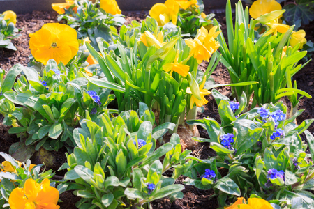 Yellow daffodils and small blue violets on a bed photo