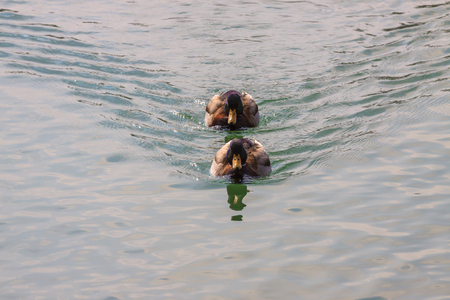 Pair of beautiful ducks floating on the water photo