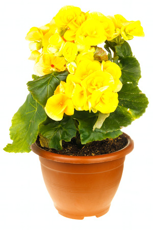 Yellow blossoming begonia isolated on white background photo