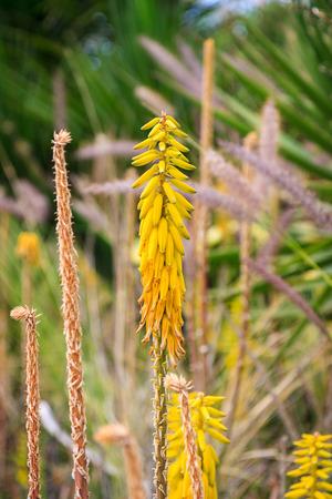 flowering aloe: Bright yellow flower of aloe vera in park