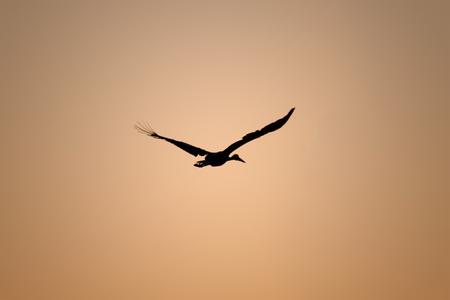 Silhouette of a stork who flying on golden sunrise photo