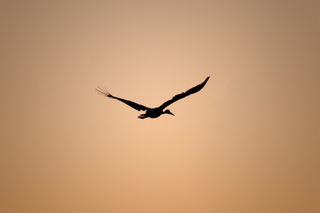 Silhouette of a stork who flying on golden sunrise photo