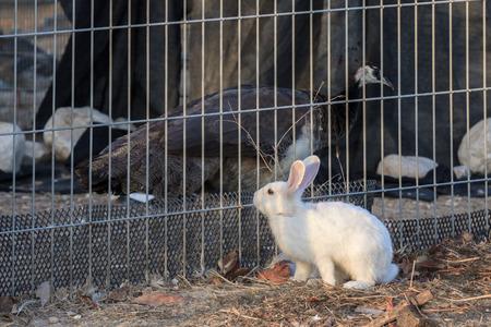 rabbit cage: Coniglio bianco sta prendendo in considerazione un pavone in una gabbia