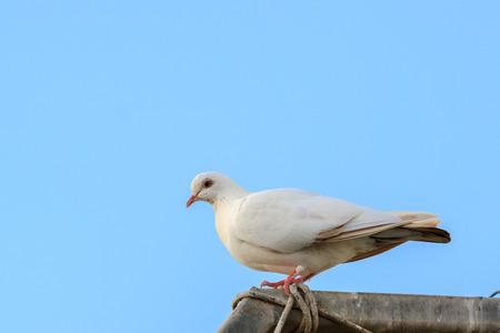 White dove sitting on blue background photo