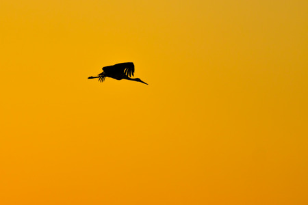 Black silhouette of stork was flying on golden sunset photo