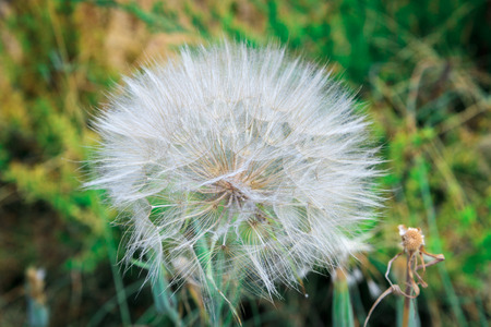 blowball: Bright white blowball on grass background