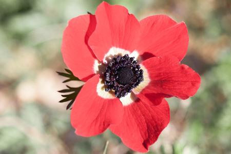 anemone flower:
