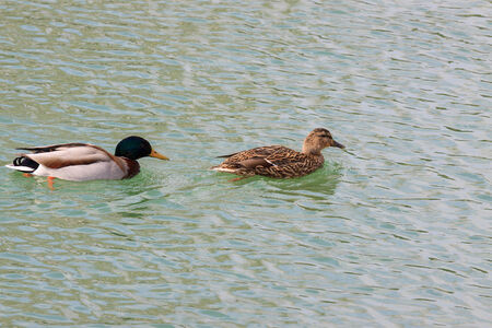 Two beautiful ducks floating on the water photo