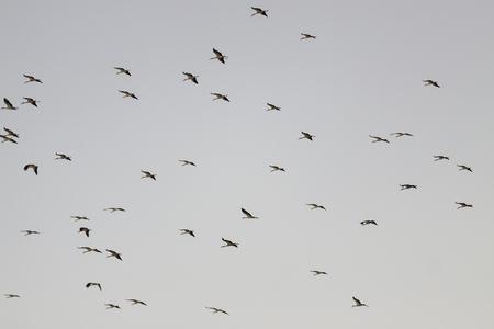 Flock of storks flying on evening sky photo