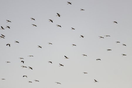 Flock of storks flying on evening sky photo