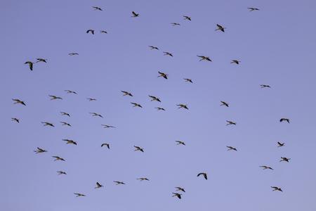 Big flock of stork flying on blue sky photo