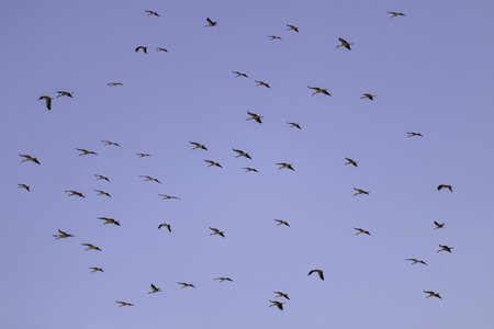 Big flock of stork flying on blue sky photo
