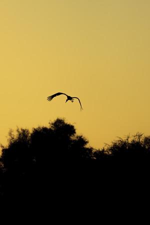 Silhouette of one stork who flying on golden sunrise photo