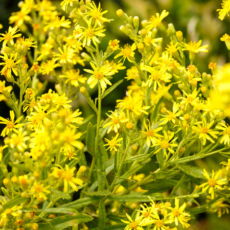 Bush with many small yellow flowers stock photo picture and royalty bush with many small yellow flowers stock photo 32645363 mightylinksfo
