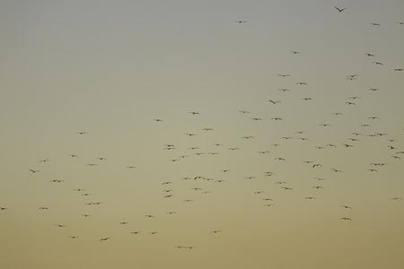 Flock of storks flying on golden color evening sky photo