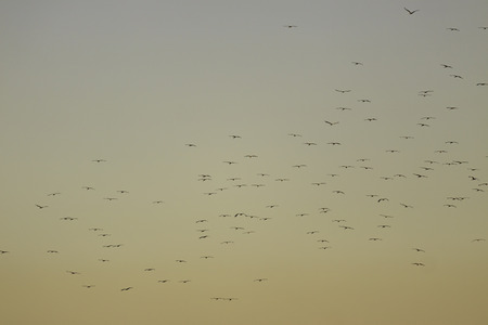 Flock of storks flying on golden color evening sky photo