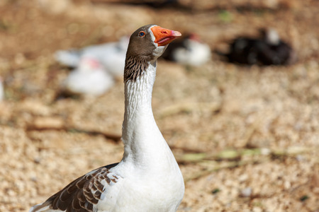 white fronted goose: Portrait of big goose