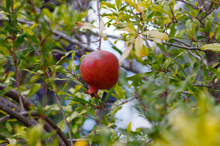 punica granatum: Last red ripe pomegranate on a tree Stock Photo