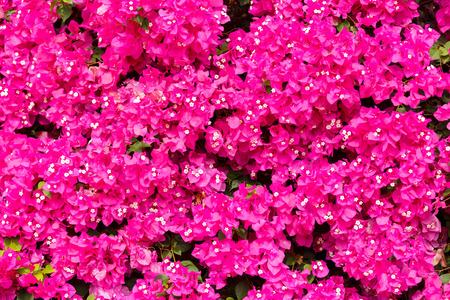 bougainvilleas: Bright pink bougainvilleas background Stock Photo
