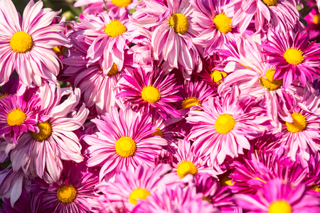 yellow stamens: Big bright pink flowers with yellow stamens in garden Stock Photo