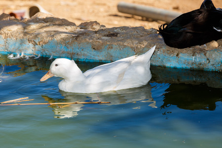 White beautiful duck floating on the water near black duck photo