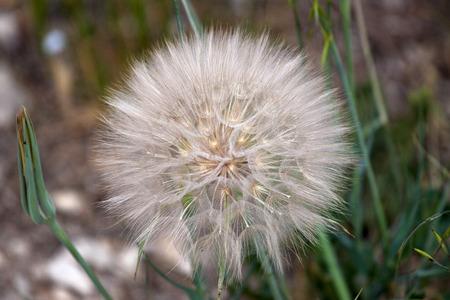 blowball: Blowball on green grass background