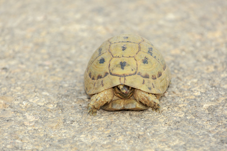 snapping turtle: Small cute turtle lying on road