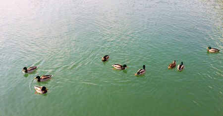 Group of beautiful ducks floating on the water photo