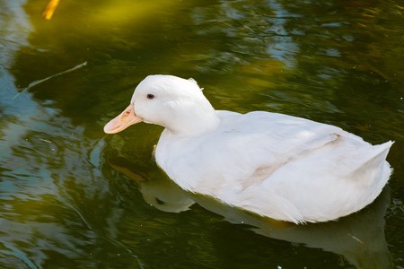 White beautiful duck floating on the green water photo