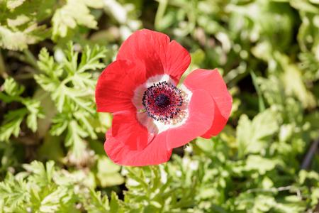 anemone flower: Fiore rosso anemone maturo in un campo