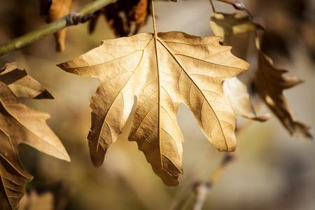 sicomoro: Hoja del sic�moro viejo en �rbol