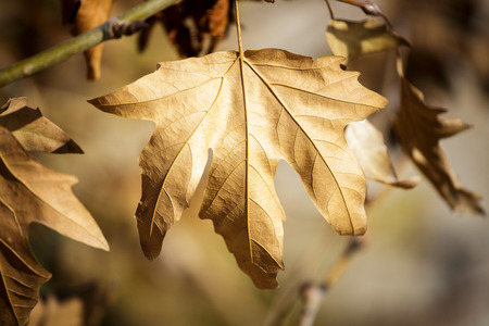 sycamore: Old sycamore leaf on tree