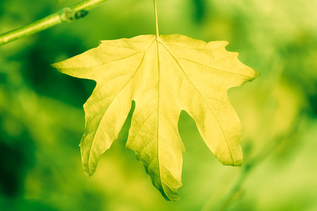 sycamore leaf: Dry sycamore leaf on tree front of green background