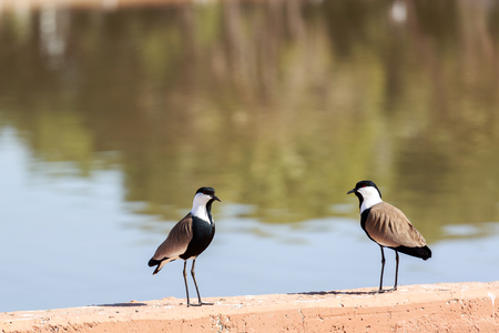 vanellus spinosus: Pair of spur-winged lapwings near a lake Stock Photo