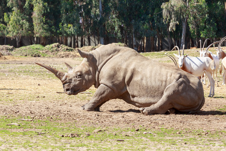 lays down: Giant rhinoceros lays down to the ground