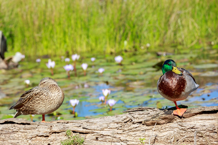 Drake with the green head and a wild duck standing on a log on a pond with water lilies photo