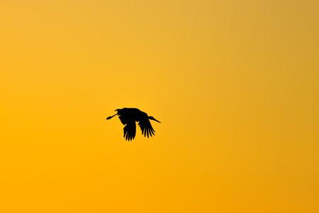 Dark silhouette of stork was flying on golden sunset photo