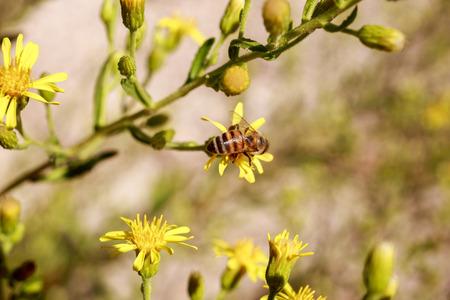 honeybee: Small honeybee on buds of bright yellow flowers