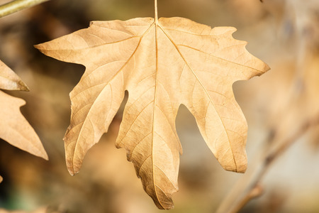 sycamore: Brown dry sycamore leaf on tree Stock Photo
