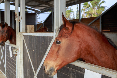 hobby hut: Two beautiful brown horses stand in a stable Stock Photo