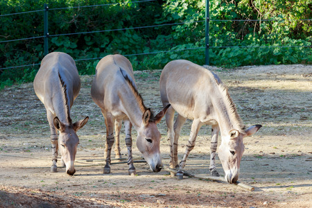 somali: Three somali wild asses are standing on the ground