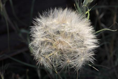 blowball: Full big ripe blowball on dark background Stock Photo