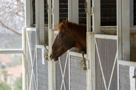 pet photography: Portrait of single horse with white stripe who is stand in a stable