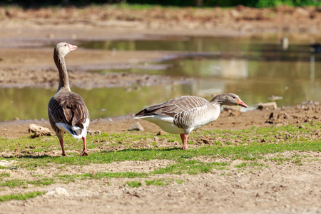 white fronted goose: Two gray goose who eat grass near water